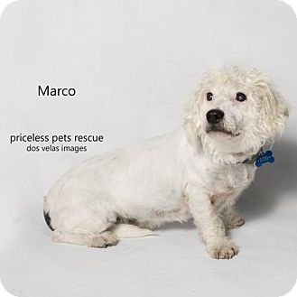 Poodle (Miniature) Mix Dog for adoption in Chino Hills, California - Marco Polo -Claremont