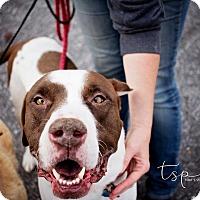Adopt A Pet :: Jefferson - Springfield, MO
