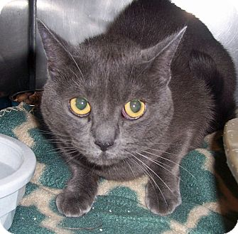 Domestic Shorthair Cat for adoption in Fall River, Massachusetts - Mischief