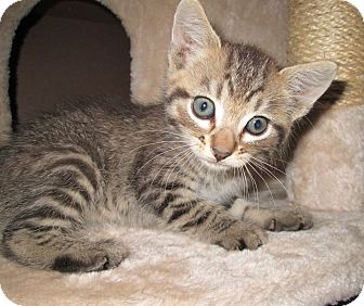Domestic Shorthair Kitten for adoption in San Bernardino, California - Bogie