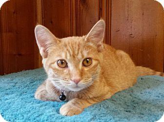 Domestic Shorthair Kitten for adoption in Jeannette, Pennsylvania - Puma