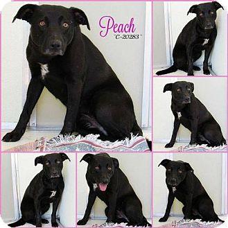 Labrador Retriever Dog for adoption in Mission, Kansas - Peach Bellini