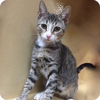 Domestic Shorthair Kitten for adoption in Long Beach, New York - Dixie