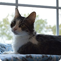Domestic Mediumhair Cat for adoption in St. Charles, Missouri - Emma
