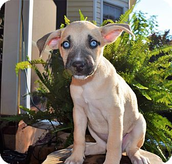 Pit Bull Terrier/Husky Mix Puppy for adoption in Mooresville, North Carolina - Catalina (City Slickers)
