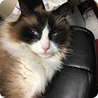 Ragdoll Cat for adoption in Columbus, Ohio - Duke