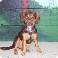 Dachshund/Chihuahua Mix Dog for adoption in Bellbrook, Ohio - Willow 2