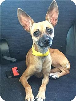 Chihuahua/Miniature Pinscher Mix Dog for adoption in Encino, California - Sweetie
