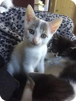 Turkish Van Kitten for adoption in Mission Viejo, California - Zero