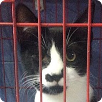 Domestic Shorthair Cat for adoption in Lexington, Kentucky - Curious Jeorge