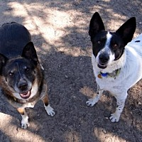 Cattle Dog Mix Dog for adoption in Seal Beach, California - Joshie & Savvy