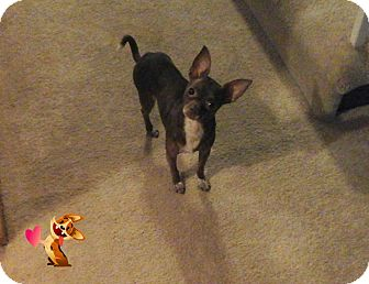 Chihuahua Mix Dog for adoption in St John, Indiana - Little Bit