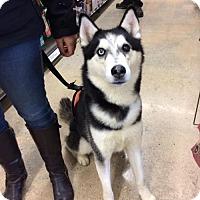Adopt A Pet :: Mufasa - Matawan, NJ