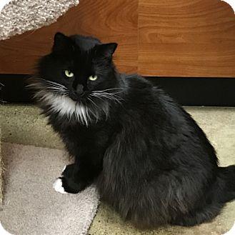 Domestic Mediumhair Cat for adoption in Pleasanton, California - Albany