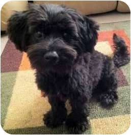 Maltese/Schnauzer (Miniature) Mix Puppy for adoption in north hollywood, California - James
