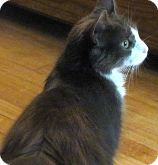 Domestic Mediumhair Cat for adoption in Oxford, Connecticut - Madonna