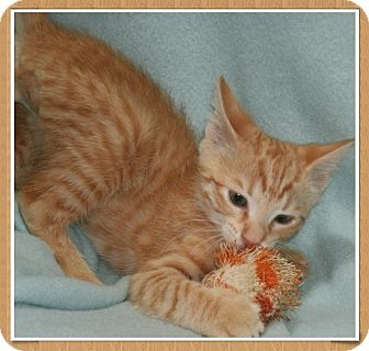 Domestic Shorthair Kitten for adoption in Bradenton, Florida - Adam