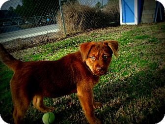 Shepherd (Unknown Type) Mix Puppy for adoption in Gadsden, Alabama - Violet