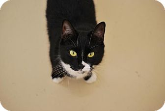Domestic Shorthair Cat for adoption in Trevose, Pennsylvania - Chrissy