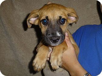 German Shepherd Dog/Labrador Retriever Mix Puppy for adoption in Oviedo, Florida - Annie