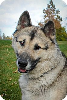 Husky/German Shepherd Dog Mix Dog for adoption in Denver, Colorado - Skylar