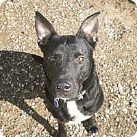 Adopt A Pet :: Sampson - Manchester, TN