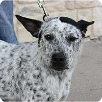 Adopt A Pet :: Domino - Arlington, TX
