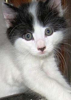 Domestic Mediumhair Cat for adoption in Des Moines, Iowa - SPOT
