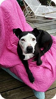 Pit Bull Terrier Mix Dog for adoption in Dallas, Texas - Karma - Guest