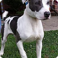 Adopt A Pet :: Blue - Sneads Ferry, NC