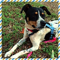 Jack Russell Terrier/Blue Heeler Mix Dog for adoption in Irmo, South Carolina - Bo