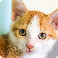 Adopt A Pet :: Pop - Larned, KS