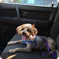 Adopt A Pet :: (Princess) Leia - Los Angeles, CA