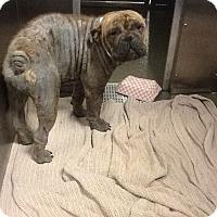 Adopt A Pet :: Leia - Columbus, OH