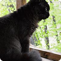 Domestic Mediumhair Cat for adoption in St. Charles, Missouri - Hocus Pocus