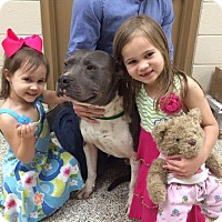 American Bulldog/American Staffordshire Terrier Mix Dog for adoption in Decatur, Georgia - Zeus *Sensitive People-Dog*