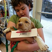 Adopt A Pet :: 'J' Puppy Jewel - Murrells Inlet, SC