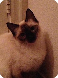 Balinese Cat for adoption in Austin, Texas - Abie