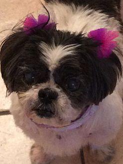 Shih Tzu Dog for adoption in Homer Glen, Illinois - Cuddles