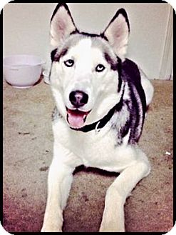 Siberian Husky Dog for adoption in Monument, Colorado - Malaki- Adoption pending!