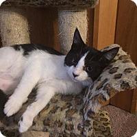 Adopt A Pet :: Caitlyn - Davison, MI