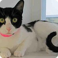 Domestic Mediumhair Cat for adoption in Bonita, California - PANDEE