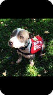Pit Bull Terrier Mix Puppy for adoption in Lincoln, California - Phoenix