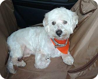 Poodle (Miniature)/Bichon Frise Mix Dog for adoption in San Antonio, Texas - Tony