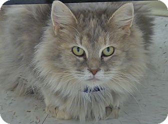 Domestic Mediumhair Cat for adoption in Chambersburg, Pennsylvania - Squeeky