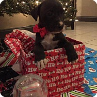 Pit Bull Terrier Mix Puppy for adoption in New Port Richey, Florida - Bernard