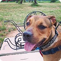 Mastiff Mix Dog for adoption in San Angelo, Texas - Boris
