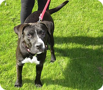 American Staffordshire Terrier/Labrador Retriever Mix Dog for adoption in Scottsdale, Arizona - Lola