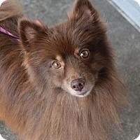 Adopt A Pet :: Choco Zee - Seattle, WA