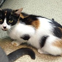 Domestic Shorthair Cat for adoption in Anderson, Indiana - Fiskers